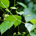 Ampelopsis cordata - Photo (c) Melissa McMasters, algunos derechos reservados (CC BY)