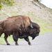 Bisonte-Americano - Photo (c) Erika Mitchell, alguns direitos reservados (CC BY-NC)
