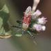 Velinus annulatus - Photo (c) Les Day, osa oikeuksista pidätetään (CC BY-NC)
