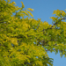 Thornless Honey Locust - Photo (c) Gordon Johnston, some rights reserved (CC BY-NC)