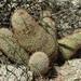 Mammillaria dioica dioica - Photo (c) george7cal, algunos derechos reservados (CC BY-SA)