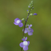 Blue Toadflax - Photo (c) TommyHAGA, some rights reserved (CC BY-NC-SA)