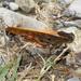 Locusta migratoria cinerascens - Photo (c) fausto, μερικά δικαιώματα διατηρούνται (CC BY-NC-ND)