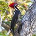 Carpintero Lineado - Photo (c) angel_castillo_birdingtours, algunos derechos reservados (CC BY-NC)