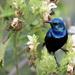 Purple Sunbird - Photo (c) pvidwansa, some rights reserved (CC BY-NC)
