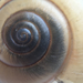 San Joaquin Shoulderband Snail - Photo (c) tlawson, some rights reserved (CC BY-NC-ND), uploaded by Tom Lawson
