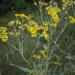 Jacobaea arenaria - Photo (c) ramazan_murtazaliev,  זכויות יוצרים חלקיות (CC BY-NC)