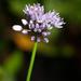 Allium splendens - Photo (c) V.S. Volkotrub, algunos derechos reservados (CC BY-NC)