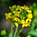 Barbarea verna - Photo (c) Bill Rhodes,  זכויות יוצרים חלקיות (CC BY-NC-ND)