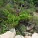 Scrophularia grayana - Photo (c) V.S. Volkotrub,  זכויות יוצרים חלקיות (CC BY-NC)