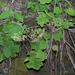 Heuchera villosa - Photo (c) Steven J. Baskauf,  זכויות יוצרים חלקיות (CC BY)
