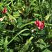 Lathyrus rotundifolius miniatus - Photo (c) Dmitriy Bochkov, algunos derechos reservados (CC BY)
