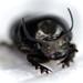 Onthophagus taurus - Photo (c) Cheryl Macaulay, osa oikeuksista pidätetään (CC BY-NC)