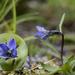Campanula uniflora - Photo (c) Abi Woodbridge,  זכויות יוצרים חלקיות (CC BY-NC)