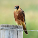 Australian Hobby - Photo (c) Bob McDougall, some rights reserved (CC BY-NC)