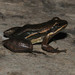 Hylodid Frogs - Photo (c) Lucas Pousa, some rights reserved (CC BY-NC)