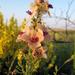 Verbascum × rubiginosum - Photo (c) Sergey Mayorov, some rights reserved (CC BY-NC)