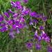 Campanula sibirica hohenackeri - Photo (c) ramazan_murtazaliev, algunos derechos reservados (CC BY-NC)