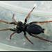 Trachyzelotes pedestris - Photo (c) victor_marugan, algunos derechos reservados (CC BY-NC)
