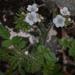 Phacelia cicutaria - Photo (c) randomtruth, μερικά δικαιώματα διατηρούνται (CC BY-NC-SA)