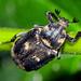 Valgus hemipterus - Photo (c) David Cappaert, algunos derechos reservados (CC BY-NC)