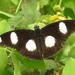 Falsa Mariposa Tigre - Photo (c) Colin Trainor, algunos derechos reservados (CC BY-NC)