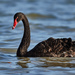 Black Swan - Photo (c) Salvador Poot Villanueva, some rights reserved (CC BY-NC)
