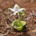 Habenaria grandifloriformis - Photo (c) enahmat, algunos derechos reservados (CC BY-NC)