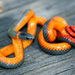 Pacific Ringneck Snake - Photo (c) C Yasuda, some rights reserved (CC BY-NC)