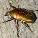 Pseudotorynorrhina japonica - Photo (c) Yu Ching Tam, algunos derechos reservados (CC BY-NC-ND)