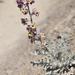 Matthiola odoratissima - Photo (c) cambala, algunos derechos reservados (CC BY-NC)