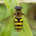 Eupeodes - Photo (c) Denis Doucet,  זכויות יוצרים חלקיות (CC BY-NC)