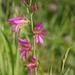 Gladiolus italicus - Photo (c) Hans-Jürgen Becker, algunos derechos reservados (CC BY-NC-SA)