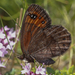 Erebia triarius - Photo (c) Eugenio Pighi, alguns direitos reservados (CC BY-NC)