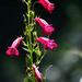 Penstemon roseus - Photo (c) Pablo Leautaud, alguns direitos reservados (CC BY-NC-ND)