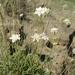 Lomelosia gumbetica - Photo (c) ramazan_murtazaliev, some rights reserved (CC BY-NC)