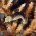 Chelidonura amoena - Photo (c) terence zahner,  זכויות יוצרים חלקיות (CC BY-NC)
