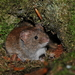 Bank Vole - Photo (c) maxb, some rights reserved (CC BY-NC)