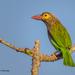Psilopogon zeylanicus - Photo (c) Anil Kumar Verma, algunos derechos reservados (CC BY-NC)