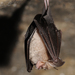 Horseshoe Bats - Photo (c) Ján Svetlík, some rights reserved (CC BY-NC-ND)