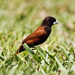 Chestnut Munia - Photo (c) Robin Gwen Agarwal, some rights reserved (CC BY-NC)