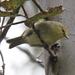 Paroreomyza montana - Photo (c) Robin Gwen Agarwal,  זכויות יוצרים חלקיות (CC BY-NC)
