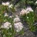 Gochnatia foliolosa - Photo (c) maritm,  זכויות יוצרים חלקיות (CC BY-NC)