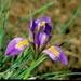 Iris unguicularis cretensis - Photo (c) Roberto Sindaco, osa oikeuksista pidätetään (CC BY-NC-SA)