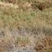 Juncus cooperi - Photo (c) dogtooth77, alguns direitos reservados (CC BY-NC-SA)