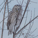 Ural Owl - Photo (c) Алексей Эбель, some rights reserved (CC BY-NC)