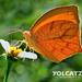Mariposa de Puntas Naranjas - Photo (c) Eduardo Axel Recillas Bautista, algunos derechos reservados (CC BY-NC)