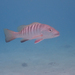 Pacific Cubera Snapper - Photo (c) keesgroenendijk, some rights reserved (CC BY-SA)
