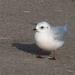Gaviota de Ross - Photo (c) Seabamirum, algunos derechos reservados (CC BY)