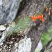 Lilium pumilum - Photo (c) V.S. Volkotrub, algunos derechos reservados (CC BY-NC)